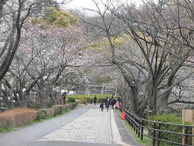 三ツ池公園 桜のトンネル