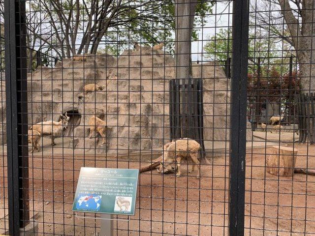夢見ヶ崎動物公園のマーコール