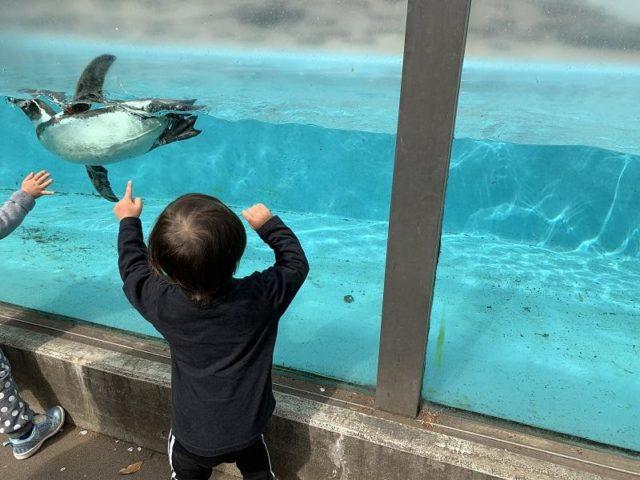 夢見ヶ崎動物公園のペンギンが泳いでいる様子