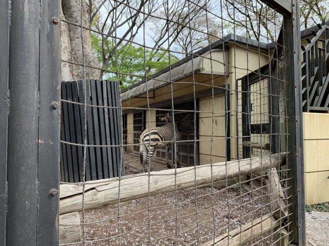 夢見ヶ崎動物公園のシマウマ